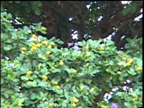 Jamaican National Flower