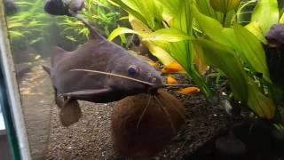 Игривый сомик, рыбки гуппи и цыхлиды, мои аквариумы сейчас