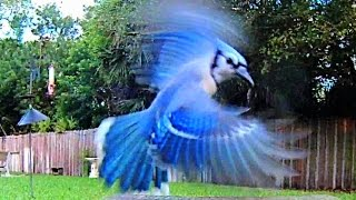 Trained Blue Jays - Ride Of The Valkyries