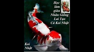 Cá Koi - Học làm giàu với kỹ thuậT nhân giống cá Koi nhật bản giá đắt đỏ | chàng và nàng