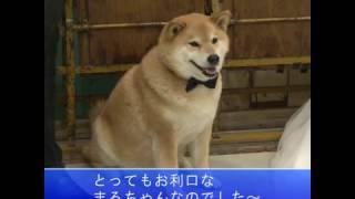 かわいすぎるッ♡柴犬まるの特技