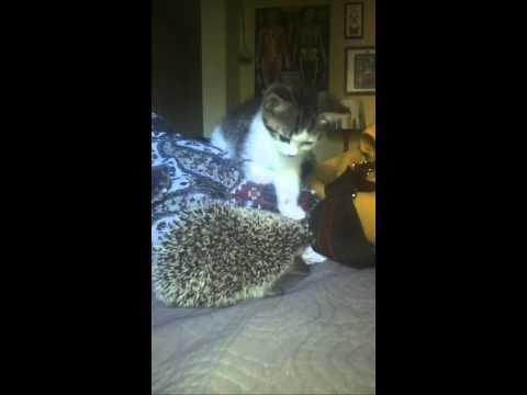 Kitten vs. Hedgehog