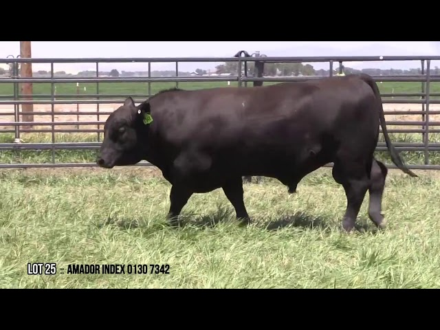 Mid Valley Bull Sale Lot 25