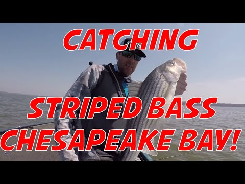 Catching Stripers On The Chesapeake Bay In The Spring!  Fast Action Hard Fighting Striped Bass!