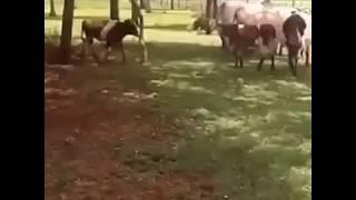 Bataille mouton contre vache, qui va gagner ?