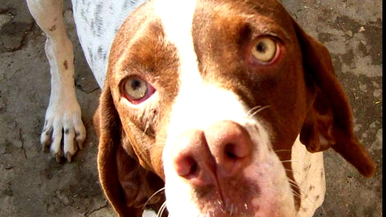 Порода собак Каталбурун.(Турецкий пойнтер). Редкая порода собак. Прекрасный охотник и компаньон