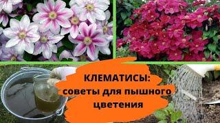 Летний уход за клематисами – советы для пышного цветения и хорошей зимовки
