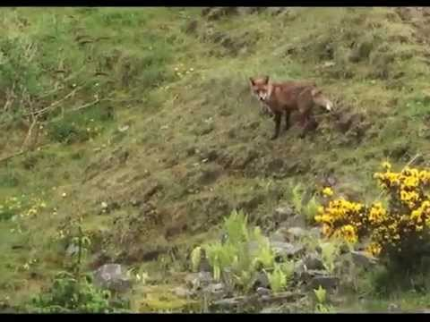Foxes we saw on 25 May 2014