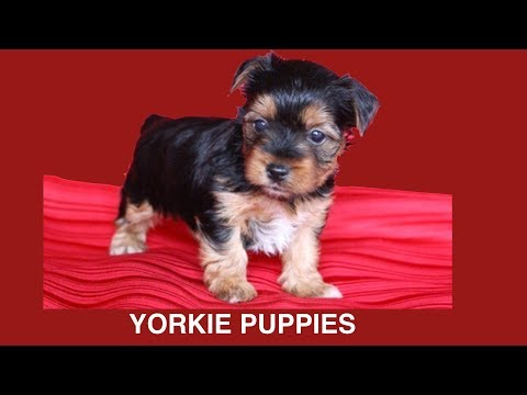 YORKSHIRE TERRIER PUPPIES WHELPING - 6 WKS OLD- DIY Dog Food & Fun by Cooking For Dogs