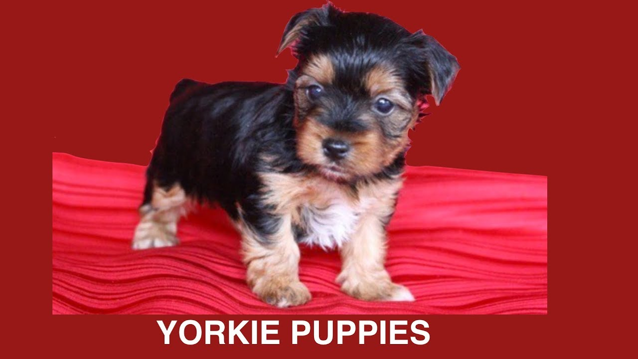 Yorkshire Terrier Puppies Whelping 6