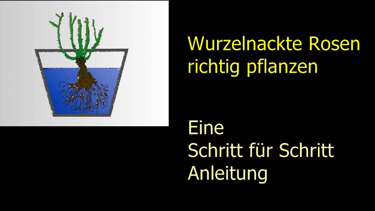 wurzelnackte rosen richtig pflanzen schritt f r schritt anleitung youtube. Black Bedroom Furniture Sets. Home Design Ideas