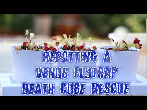 Download How To Repot A Venus Flytrap: Best Venus Flytrap Pot & Planter (Info) - Repotting A Venus Flytrap