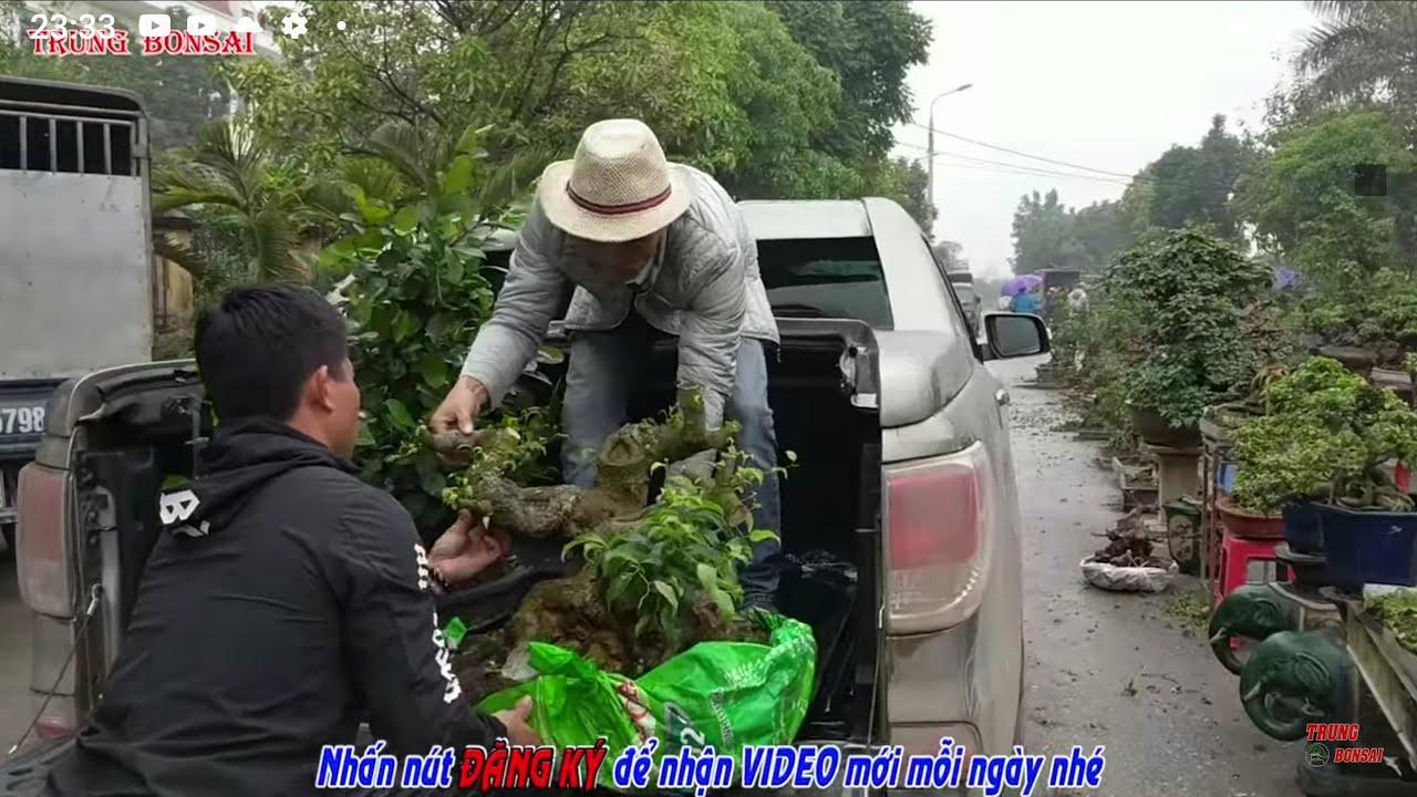 9 triệu cây si búp đỏ giao dịch cho một bác yêu cây tại gian hàng chợ TL VĂN GIANG