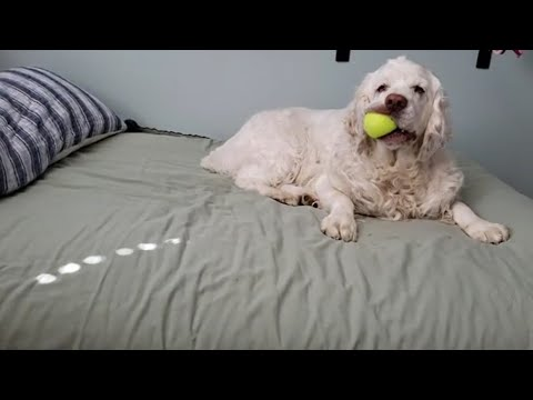 CLUMBER SPANIEL DOGS