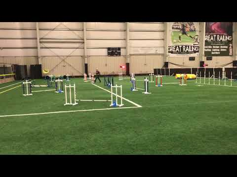 Pop-Tart Toy Poodle Agility | Masters Jumpers Run 3-25-2018 | Harlequin Dachshunds