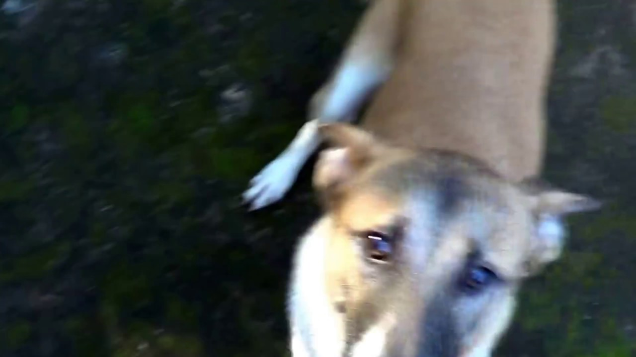 Excited dog running Ar...