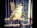 Burung Ciblek Gunung Gacor Materi Belalang Raja Durasi 1.23 menit Tanpa Jeda Cocok Untuk Masteran