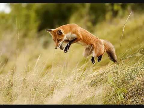 Manau le loup le renard et la belette youtube - Babouin et belette ...