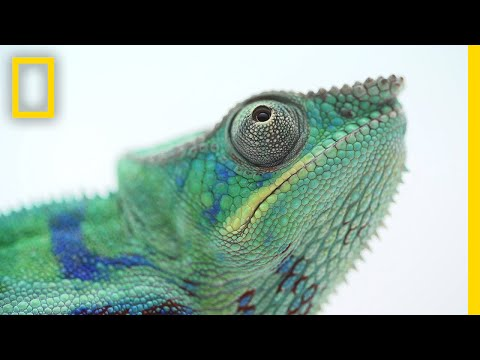 Thumbnail: The Illegal and Secretive World of Chameleon Ranching | National Geographic