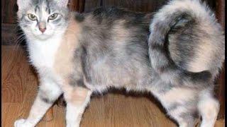 Порода кошек Американский рингтейл.