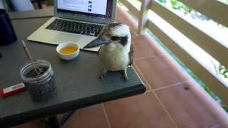 Reboot - Kookaburra Baby image