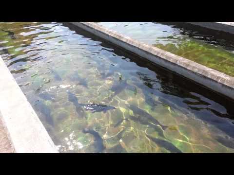 Trout- Fish Hatchery Upstate Ny