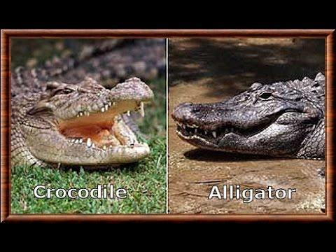 Alligator vs Crocodile : Kamp Kenan Education thumbnail