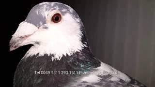 21.03.2016 Zuchttauben Gołębie Rozpłodowe Breed pigeons Kulbacki Germany