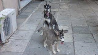 Siberian Husky Mom And Puppy Walking Off-leash