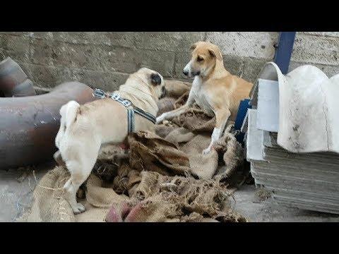 best friend charlie & street dog II pug dog II charlie the pug