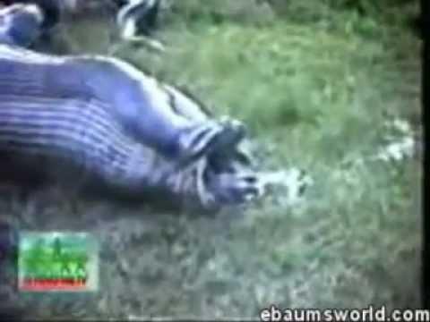 Aninimal Book: Anaconda snake swallowing maybe a hippo or a capybara ...