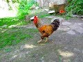 Rooster and chickens, these are terrestrial birds