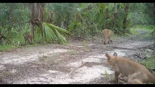 Florida panthers hit with mysterious walking disorder