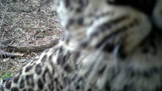 Дальневосточный леопард знакомится с фотоловушкой