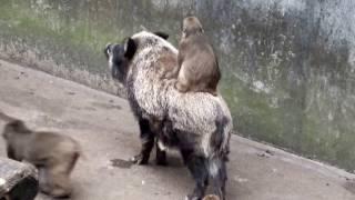 Japanese macaque riding a wild boar.イノシシに乗るニホンザル。 Hamu...