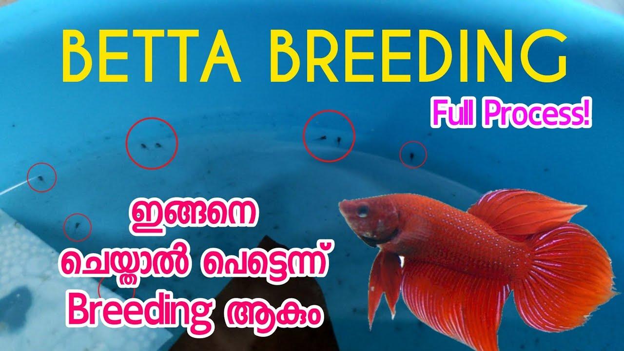 How to breed betta fish   betta breeding malayalam   Fighter Breeding ? #betta