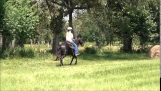 Jet Black Tennessee Walking Horse Gelding For Sale
