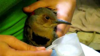 Feeding a Northern Flicker