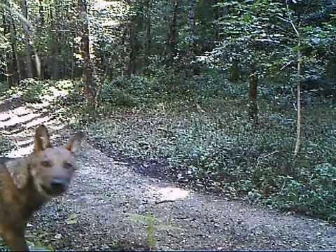 Giovani lupi nel Parco Nazionale dell'Appennino Lucano.