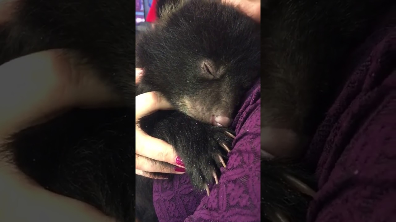 A Tiny Baby Bear Purrs Like a Kitten While Snuggled