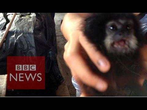 Peru's rare wildlife for sale - BBC News