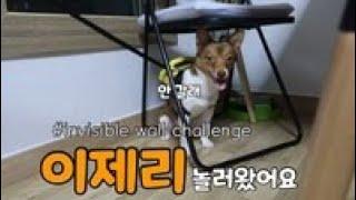 제리가 우리집에 놀러왔어요~ invisibel wall challenge 투명벽 설치 강아지들의 반응! (feat.뜻밖의 제제)