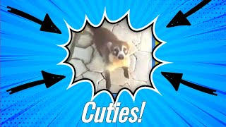 Cute Little Creatures! Coatimundi - Cute Animals