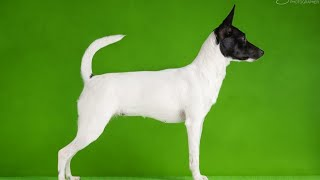 Toy terrier dog breeds ¦Division 3¦ Segment 4