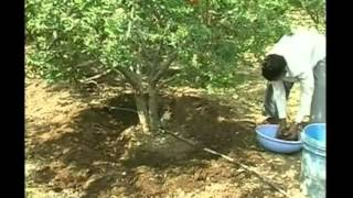 Farmers' guide on how to protect pomegranate orchards