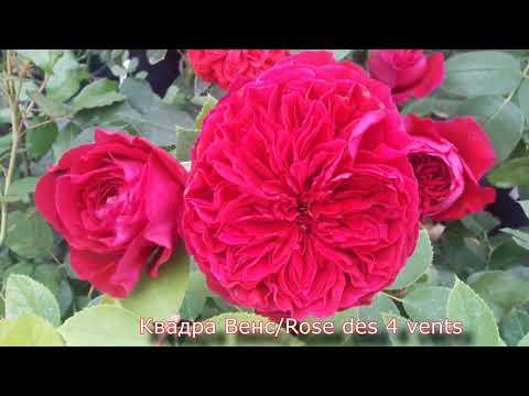 Чайно-гибридные розы в Питомнике роз от Татьяны. Внешний вид саженцев. Цветения.