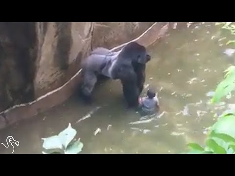 HARAMBE Video Update: Child's Mother Not Charged In Zoo Gorilla Shooting | The Dodo