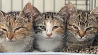 How to socialize feral kittens