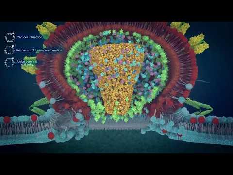 Viral entry process of HIV virus