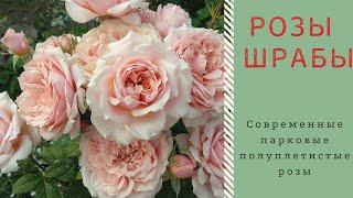 Лучшие розы для сада. Шрабы.